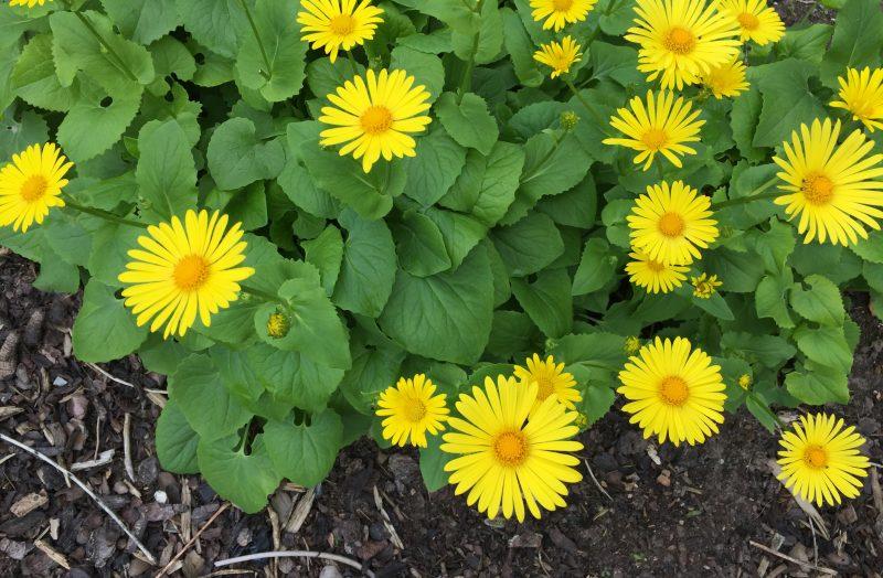 Sonnengelber Gamswurz Doronicum Orientale Sonnen Beet De